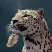 Jaguar frisst Henne