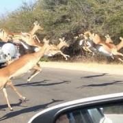 AntilopeimAuto